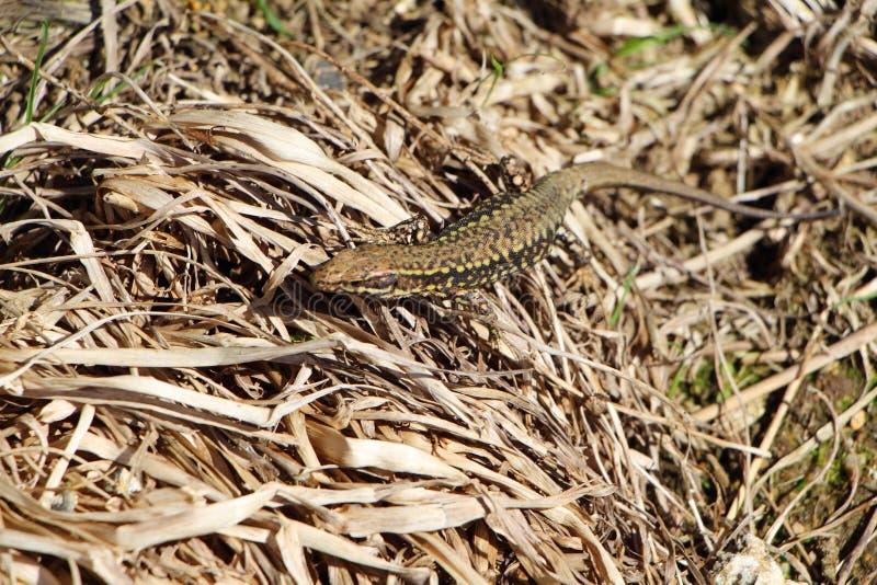 Jaszczurka na wysuszonej trawie zdjęcie royalty free