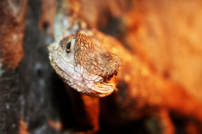 jaszczurka portret obraz stock