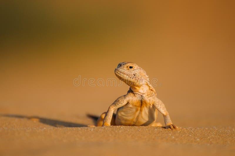 Jaszczurka w pustyni na żółtym piasku fotografia royalty free