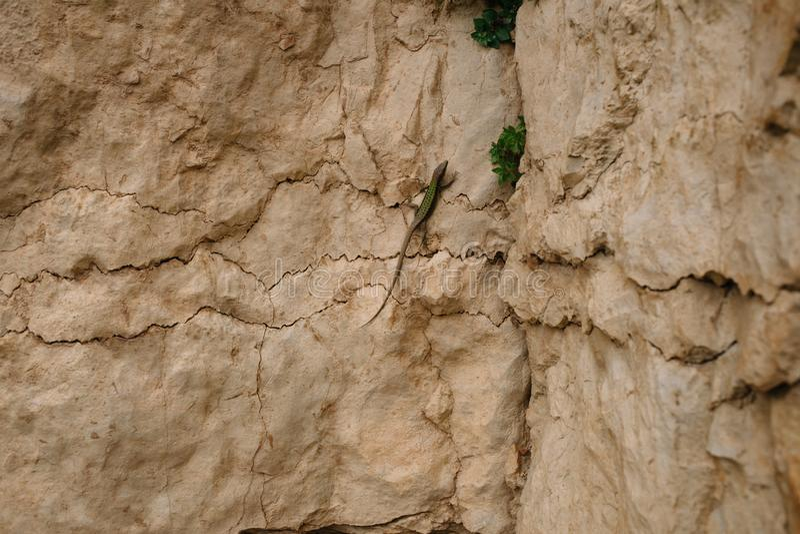 Jaszczurka z zielenią z powrotem na kamieniach beżowy kolor Kamienie pękają i trawa r od ich pęknięć obrazy royalty free