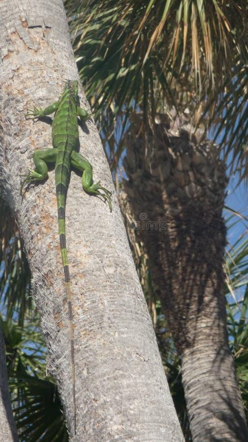 jaszczurki drzewko palmowe zdjęcie royalty free