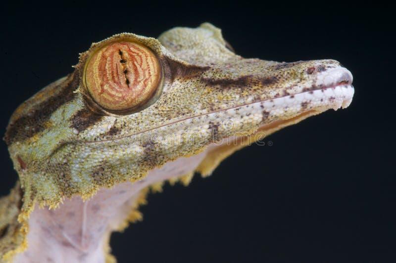 Jaszczurki głowa, Uroplatus fimbriatus/ zdjęcia stock