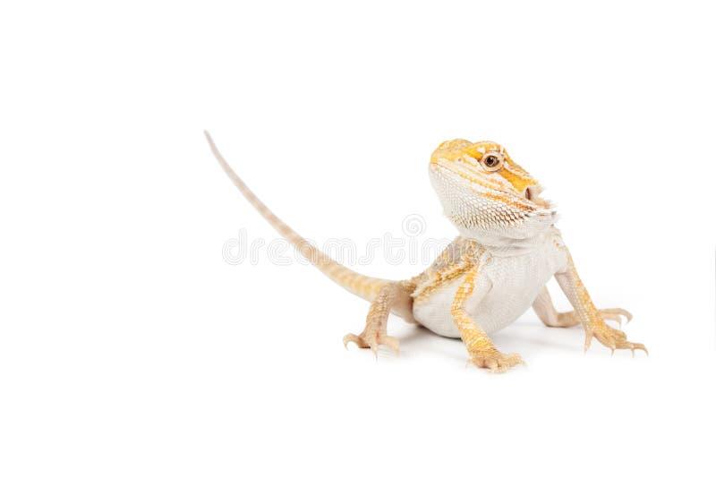 jaszczurki kolor żółty obrazy royalty free