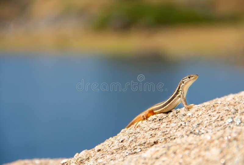 Jaszczurki spojrzenie wokoło, uśmiechy i podczas gdy stojaki w skale pustynia obraz royalty free