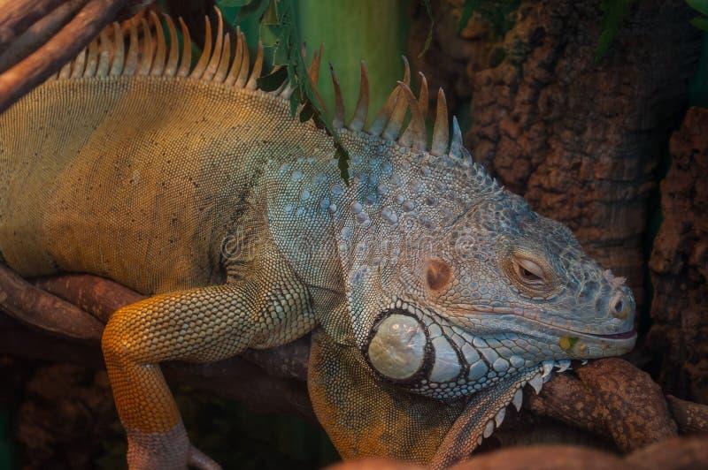 Jaszczurki Zielona iguana także znać jako Pospolita lub Amerykańska iguana na gałąź w lasowym tle fotografia stock