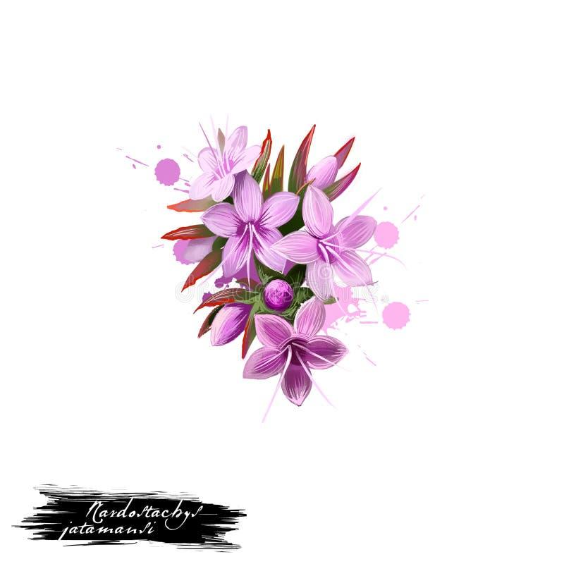 Jatamansi Jatamansi - Nardostachys ayurvedic Kraut, Blume digitale Kunstillustration mit dem Text lokalisiert auf Weiß Gesundes o lizenzfreie abbildung