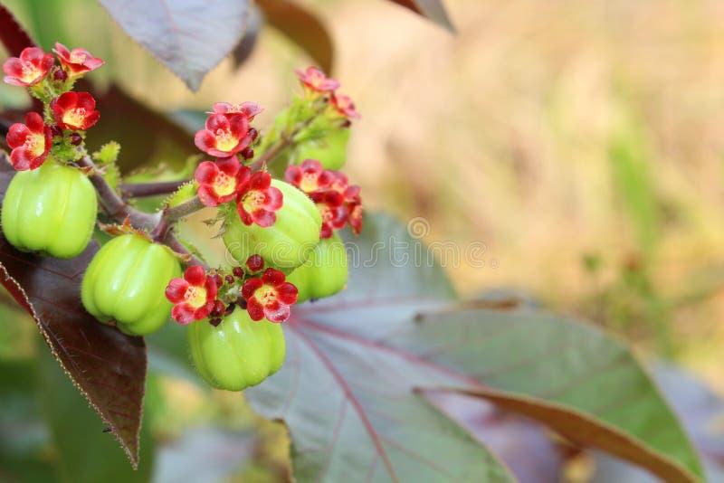 Jatropha fruit for distill bio diesel. Close up Jatropha fruit for distill bio diesel stock image