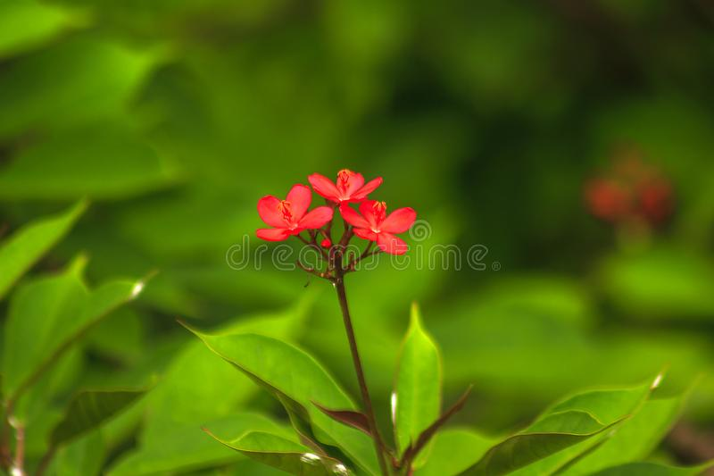 Jatropha integerrima Beautiful red in nature A small shrub. Flowering bouquet at the end of the branch royalty free stock photos