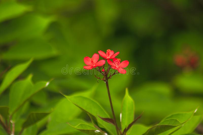 Jatropha integerrima Beautiful red in nature A small shrub. Flowering bouquet at the end of the branch royalty free stock image