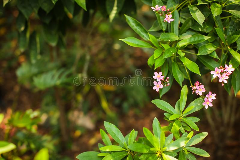 Jatropha integerrima. A decorative shrub with distinctive lance-shaped, bright green leaves. deep pink or red flowers. Jatropha integerrima commonly known as stock photography