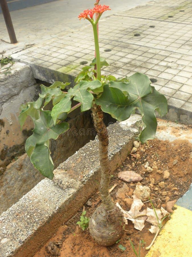 Jatrophapodagricaväxt royaltyfria bilder