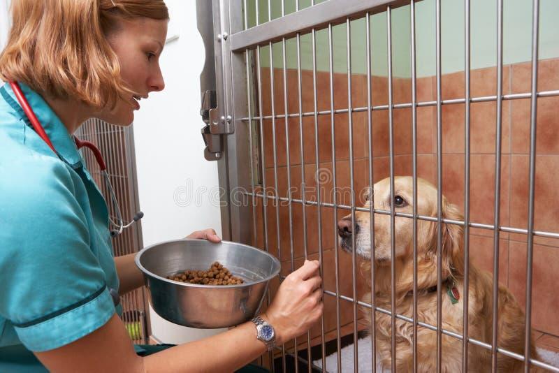 Jaula veterinaria de Feeding Dog In de la enfermera imagen de archivo