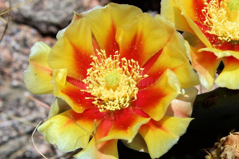 Jaune avec la fleur rouge de figue de Barbarie images libres de droits