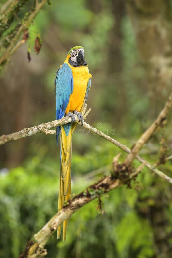 jaune bleu de macaw d'ararauna d'ara photo stock