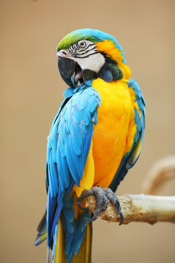 jaune bleu de perroquet de macaw photo libre de droits