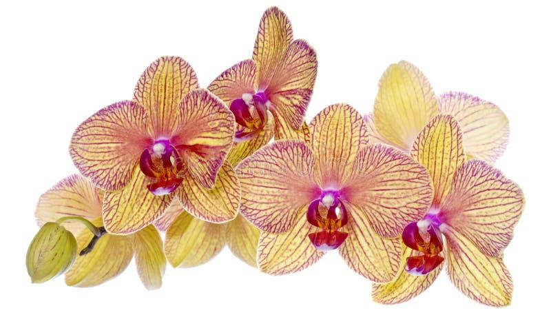 jaune coloré de rose d'orchidées images stock