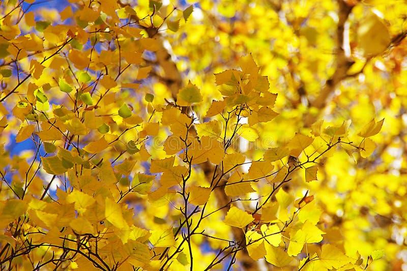 Jaune d'arbre d'automne images libres de droits