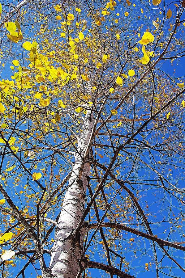 Jaune d'arbre d'automne photo stock