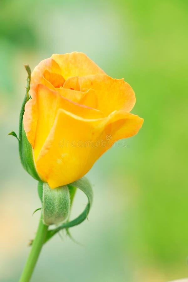 jaune de bourgeonnement de rose photo stock