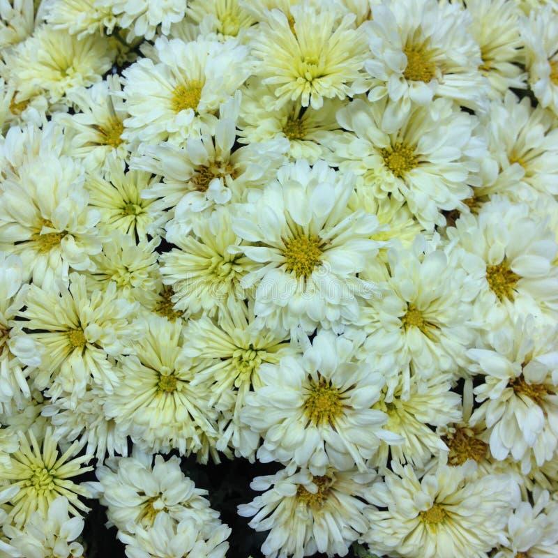 Jaune de chrysanthèmes de Foto images stock