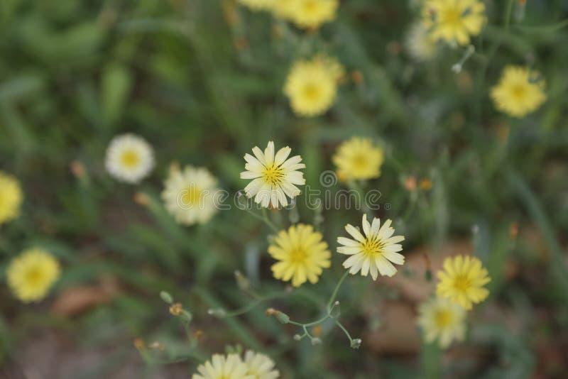  jaune de ¼ d'ï de fleur image libre de droits