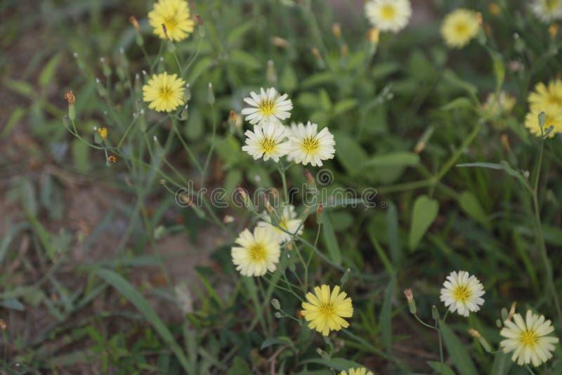  jaune de ¼ d'ï de fleur photographie stock libre de droits