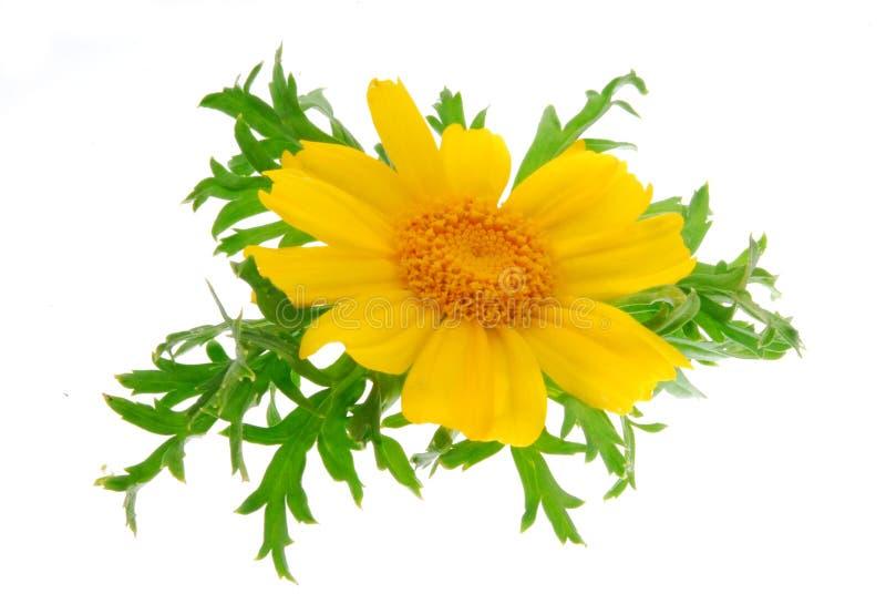 jaune de fleur photographie stock libre de droits