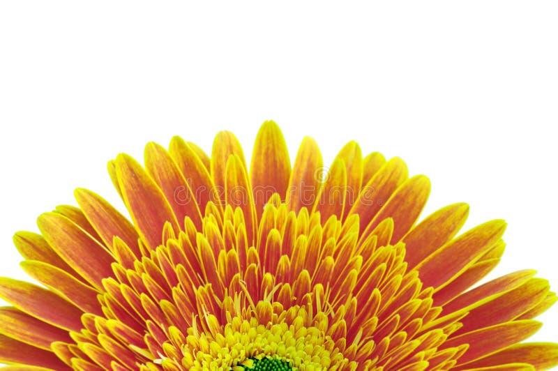 jaune de fleur de marguerite photos libres de droits
