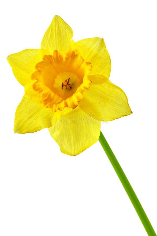 jaune de jonquille images libres de droits