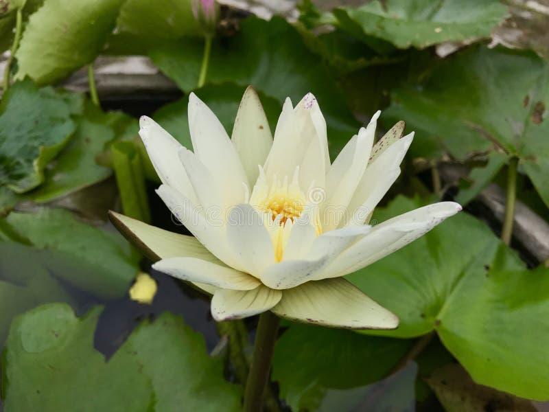 Jaune de lotus de fleur photo libre de droits