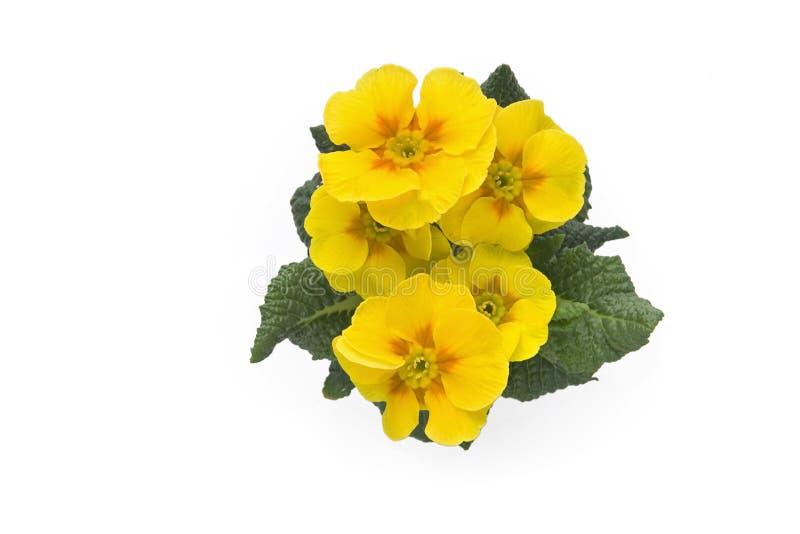 jaune de primevère photographie stock