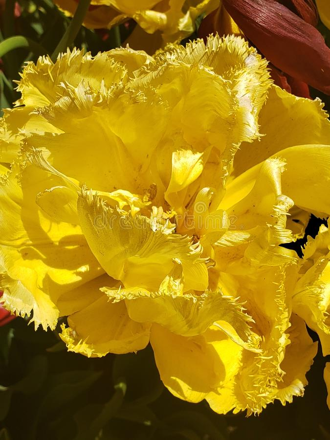 That& jaune x27 de tulipe ; s est très unique image stock