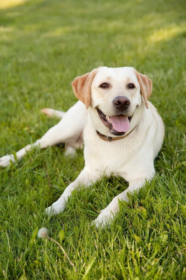 Jaune labrador retriever de Portret sur l'herbe verte photographie stock libre de droits