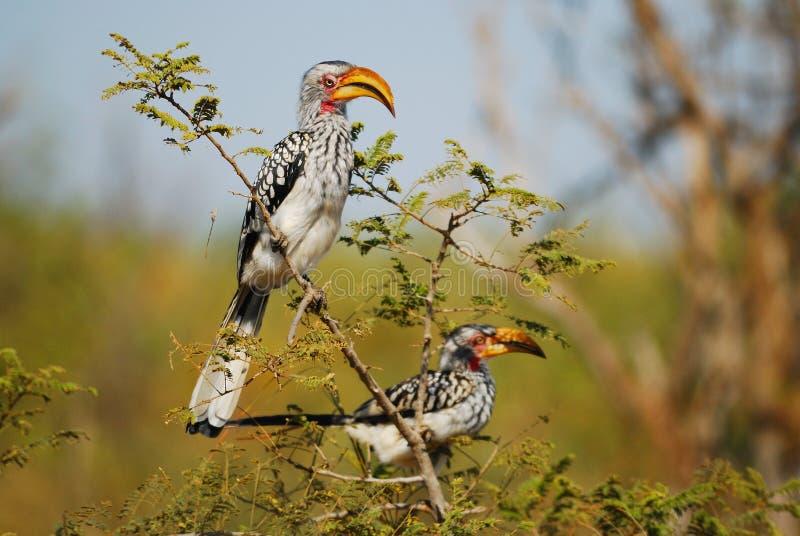 jaune méridional affiché de hornbill image libre de droits