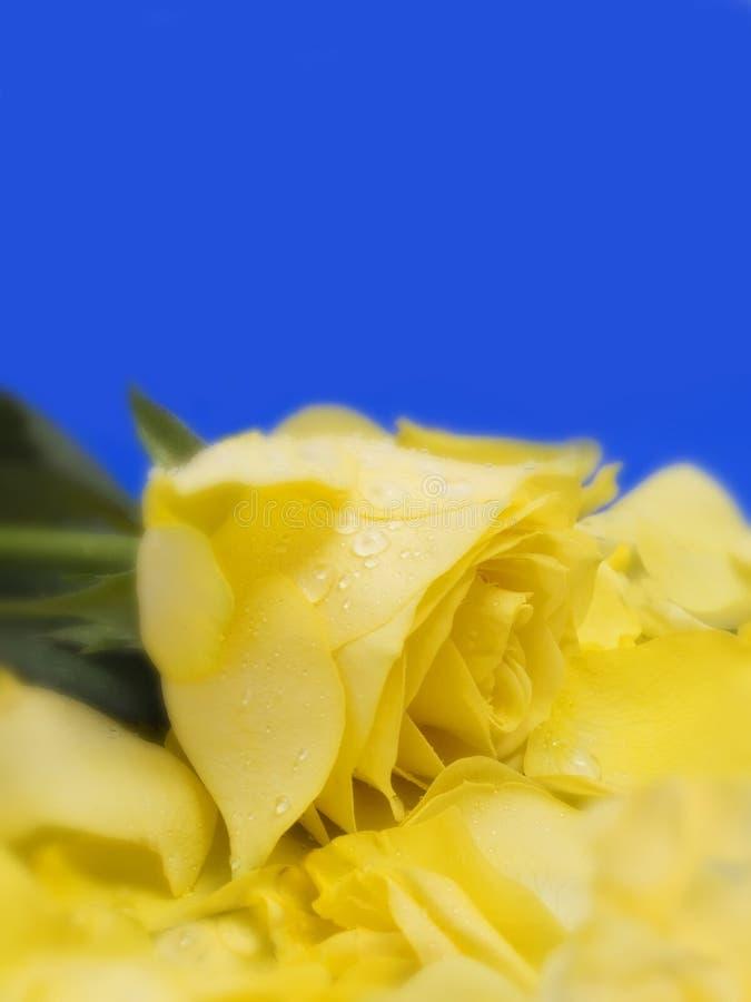 Jaune rose et pétales image stock