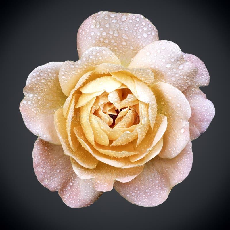 Jaune-rose s'est levé photographie stock