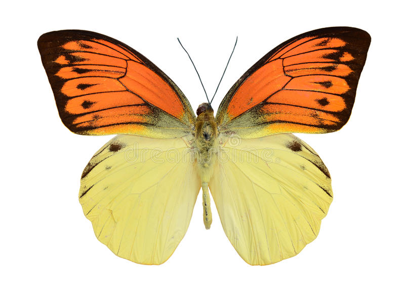 Jaune rouge de papillon photos stock