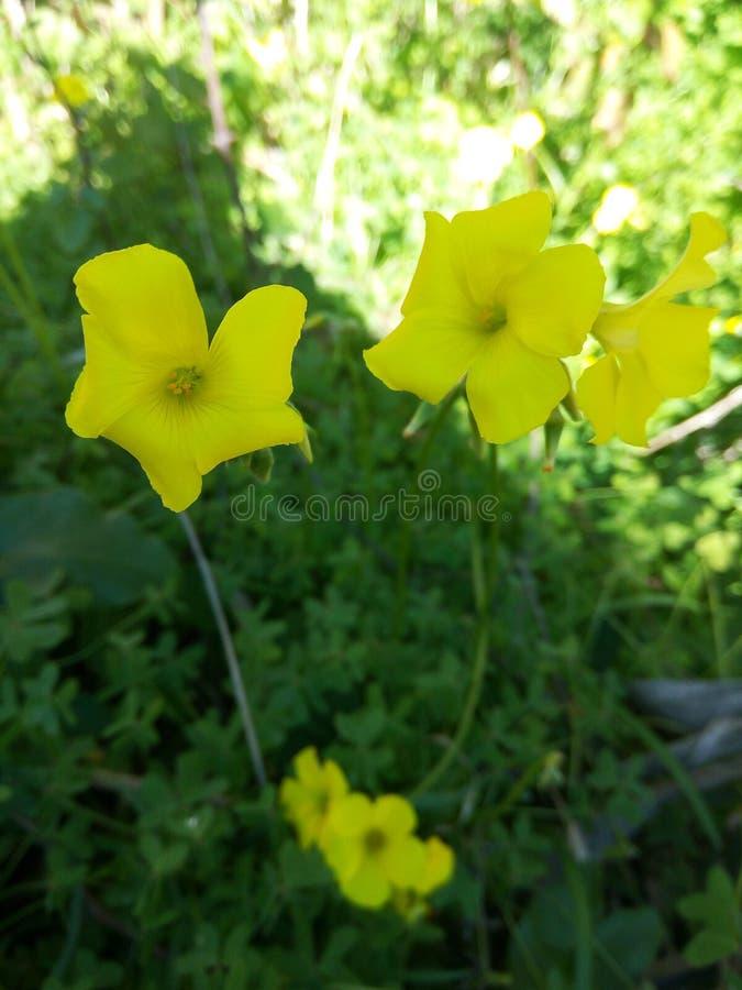Jaunes Fleurs стоковое изображение