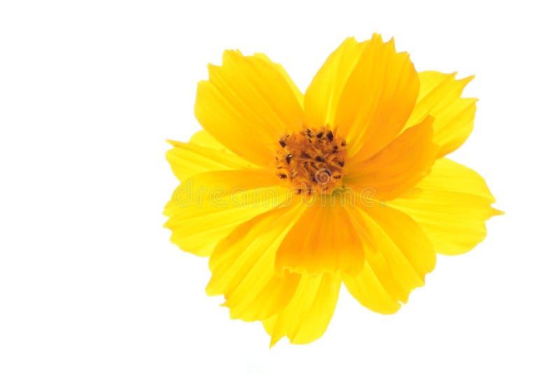 Jaunissez la fleur de cosmos d'isolement sur le blanc image stock
