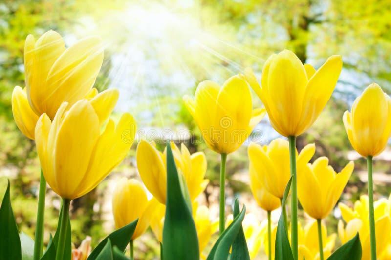 Jaunissez les tulipes image libre de droits