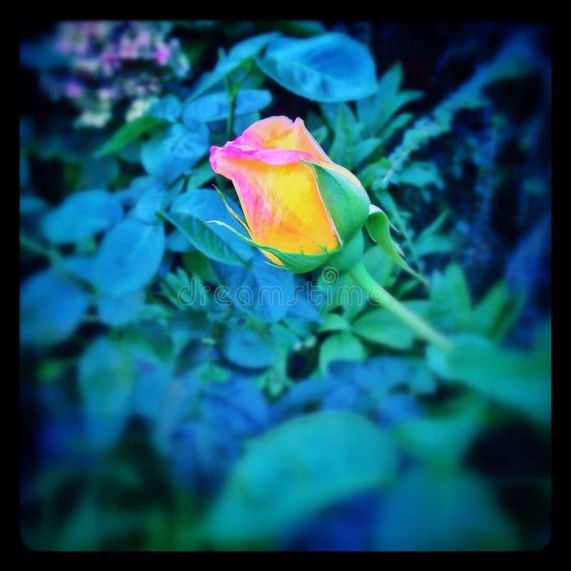 Jaunissez rose photographie stock