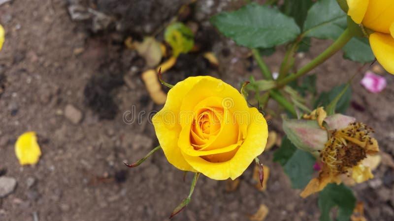 Jaunissez rose photos stock