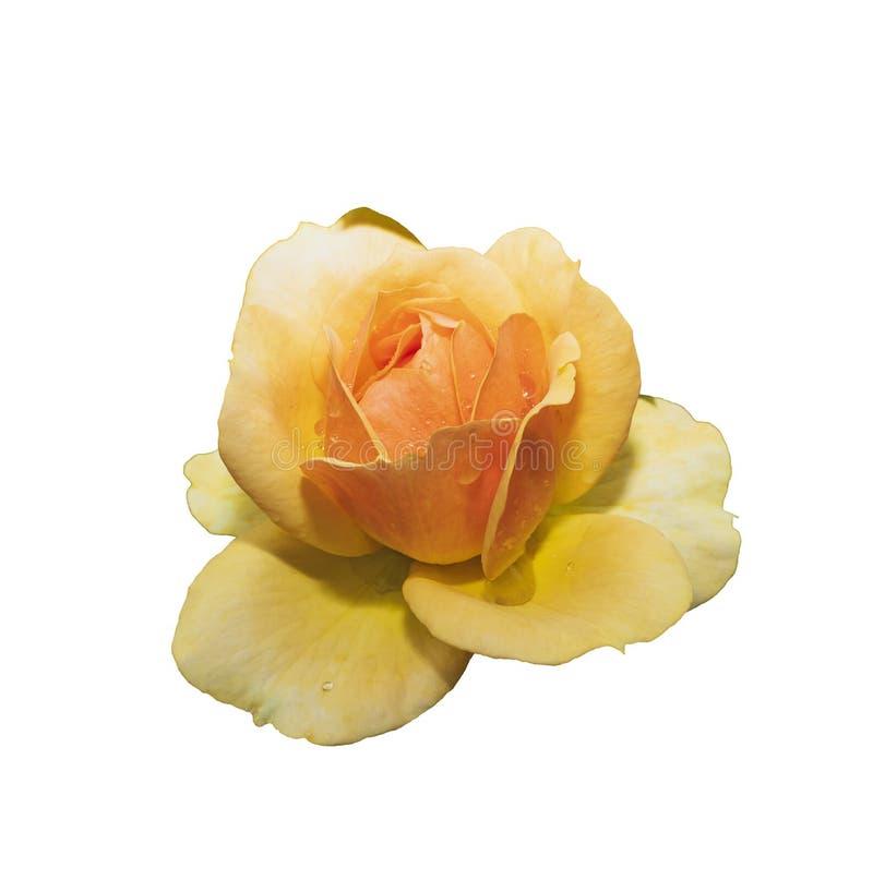 Jaunissez rose D'isolement image stock