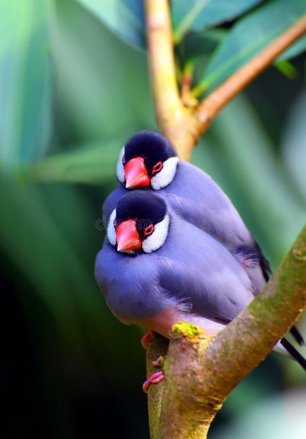 Java麻雀鸟 图库摄影
