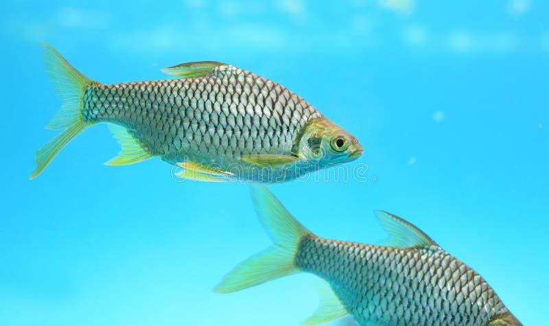 Java barb fish Barbonymus gonionotus swimming in aquarium.  royalty free stock photography