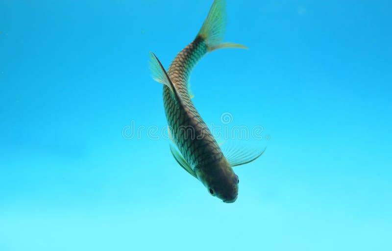 Java barb fish Barbonymus gonionotus swimming in aquarium.  stock photography