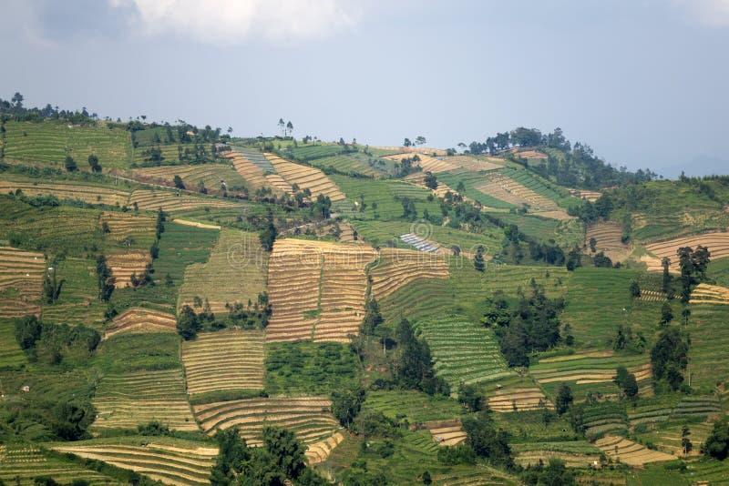 Java, Indonesië heuvels met percelen van padievelden van verschillende mate van een rijpheid stock afbeeldingen