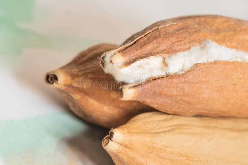 Java Kapok Seed Pod Crack abre mostrar su fibra de seda mullida como algodón foto de archivo