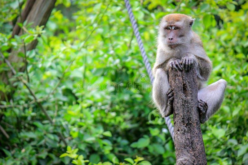 Java Macaque que se sienta en un árbol en la selva del mono foto de archivo
