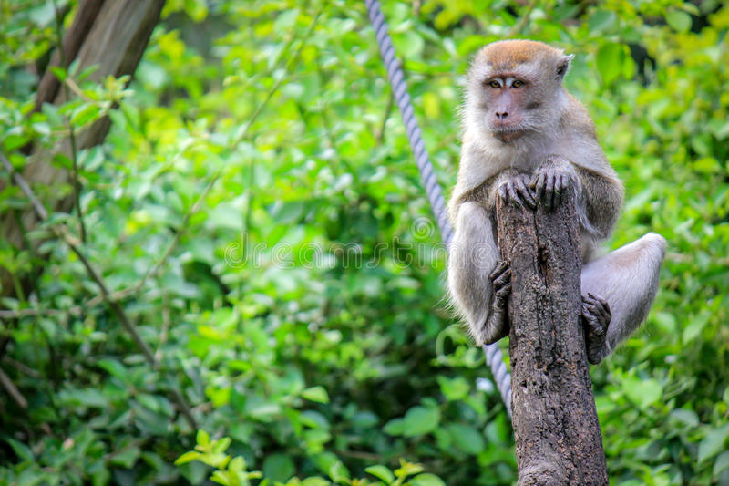 Java Macaque sitting on a tree in the Monkey Jungle stock photo